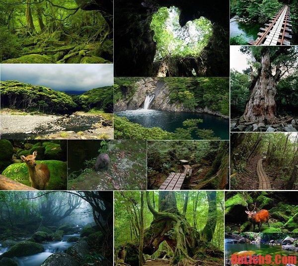 Rừng mưa Yakushima – Du lịch Nhật Bản ghé qua điểm đến không có trong sách du lịch